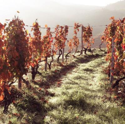 vigne-automne