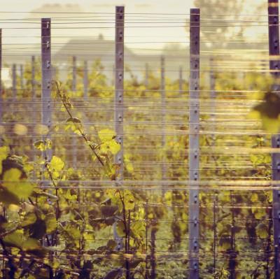 vin-image-vigne